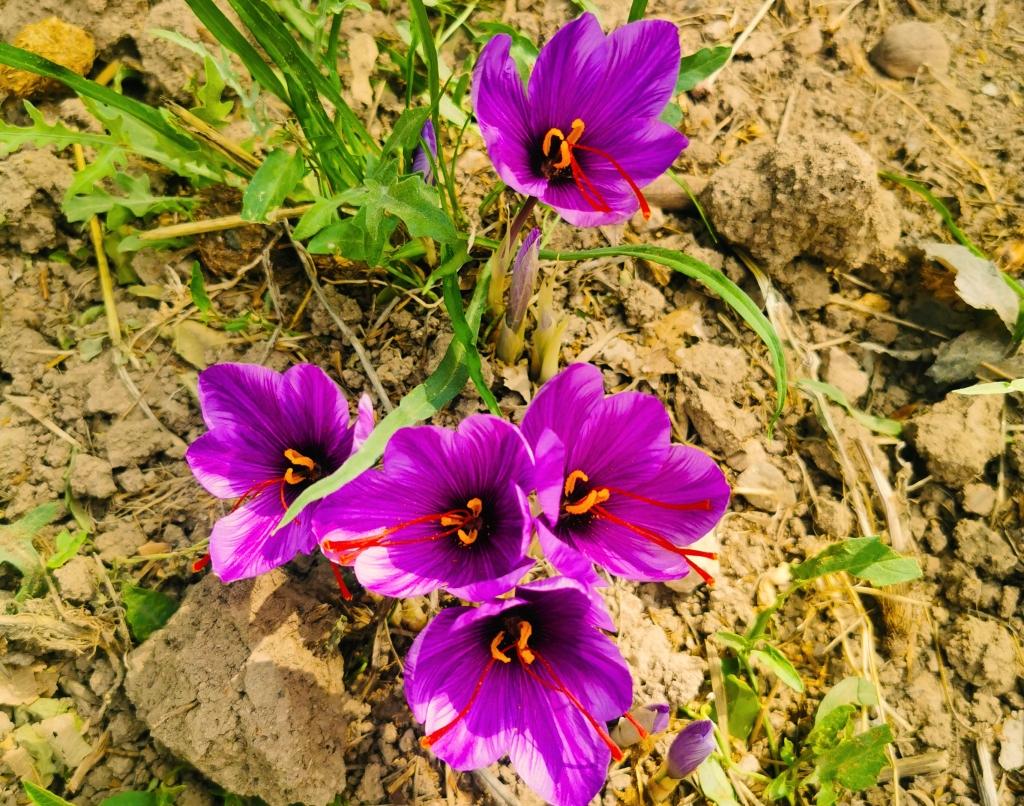 Saffron flowers, flourishing in October